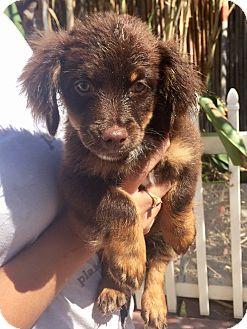 Poodle (Miniature)/Schnauzer (Miniature) Mix Puppy for adoption in Santa Ana, California - Sandy