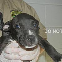 Adopt A Pet :: Faigel - Rocky Mount, NC