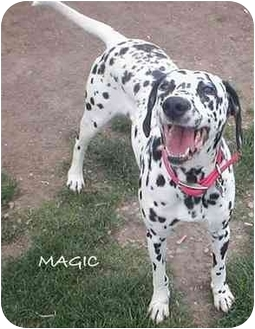 Dalmatian Dog for adoption in Mandeville Canyon, California - Magic