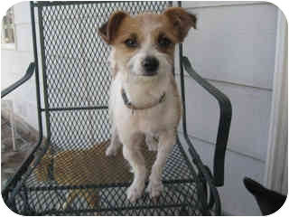 Terrier (Unknown Type, Small)/Jack Russell Terrier Mix Dog for adoption in YERINGTON, Nevada - Allie
