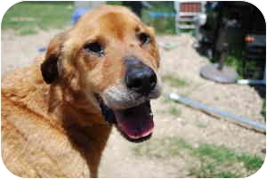 Chow Chow/Retriever (Unknown Type) Mix Dog for adoption in Huntington, New York - Dutchess