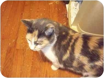Calico Cat for adoption in East Stroudsburg, Pennsylvania - Annabelle