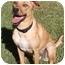 Photo 2 - Rhodesian Ridgeback/Labrador Retriever Mix Puppy for adoption in Santa Rosa, California - Masha (SIAR foster)