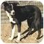 Photo 3 - Border Collie Dog for adoption in Phelan, California - MADDIE