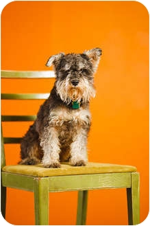 Miniature Schnauzer Dog for adoption in Portland, Oregon - George