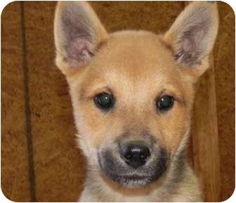 German Shepherd Dog/Husky Mix Puppy for adoption in Portland, Maine - Opie