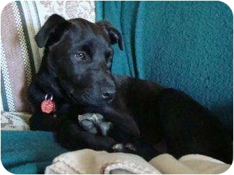 Labrador Retriever Mix Puppy for adoption in kennebunkport, Maine - Wally - PENDING!