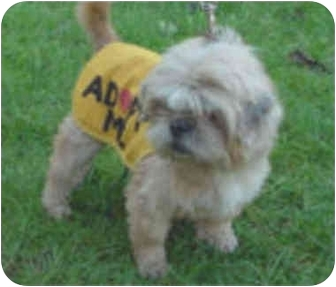 Lhasa Apso Dog for adoption in Spring Valley, California - ADDISON