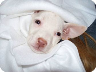 American Pit Bull Terrier Mix Puppy for adoption in Newtown, Connecticut - Twinkle