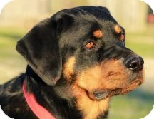 Rottweiler Dog for adoption in Proctorville, Ohio, Ohio - Grace