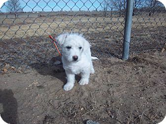 Westie, West Highland White Terrier/Terrier (Unknown Type, Small) Mix Puppy for adoption in Sterling, Colorado - Clarence