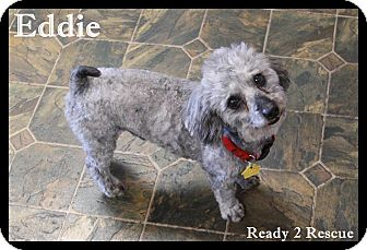 Poodle (Miniature) Mix Dog for adoption in Rockwall, Texas - Eddie