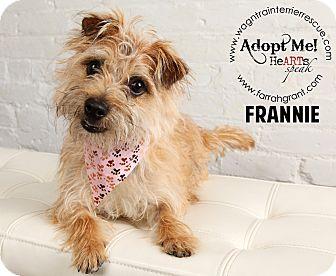 Border Terrier/Cairn Terrier Mix Dog for adoption in Omaha, Nebraska - Frannie-Pending Adoption