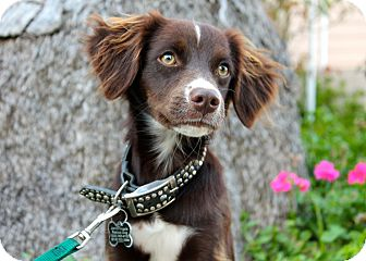 Spaniel (Unknown Type) Mix Puppy for adoption in Los Angeles, California - Hershey