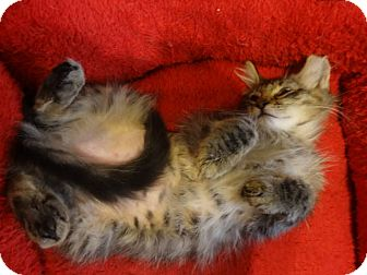 Maine Coon Kitten for adoption in Colmar, Pennsylvania - Katy Anne -ADOPTION PENDING!