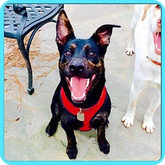 German Shepherd Dog/Labrador Retriever Mix Puppy for adoption in Eden Prairie, Minnesota - SUPER COOPER