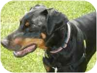 Doberman Pinscher Dog for adoption in Arlington, Virginia - Bear