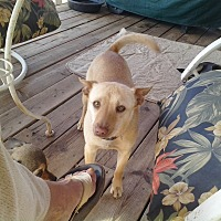 Australian Cattle Dog/Chihuahua Mix Dog for adoption in Seligman, Arizona - Jake
