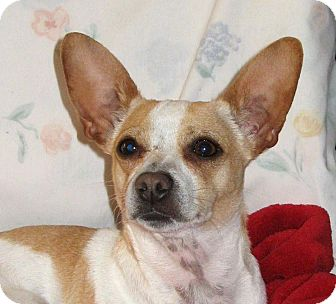 Corgi/Terrier (Unknown Type, Medium) Mix Dog for adoption in Walnut Creek, California - Maddy