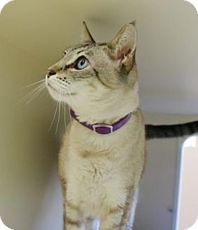 Siamese Cat for adoption in Gloucester, Massachusetts - Walkabout