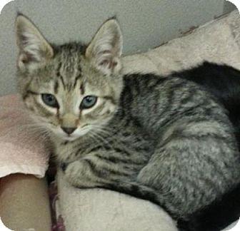 Domestic Shorthair Kitten for adoption in Divide, Colorado - Topaz