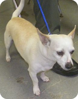 Chihuahua/Dachshund Mix Dog for adoption in Olive Branch, Mississippi -