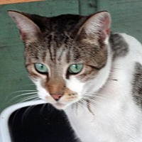 Domestic Shorthair Cat for adoption in Palm City, Florida - Shortie
