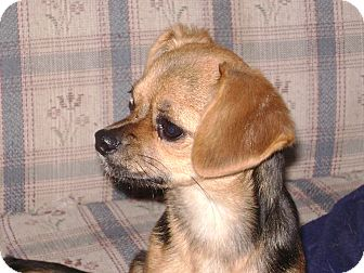 Beagle/Chihuahua Mix Puppy for adoption in Griffith, Indiana - LORETTA  15-1212