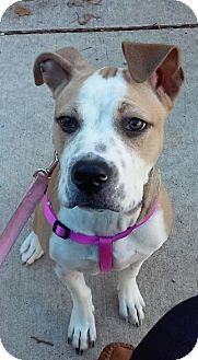 American Bulldog/Pit Bull Terrier Mix Puppy for adoption in Chesterfield, Michigan - Brooklyn - COURTESY POST