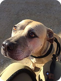 Pit Bull Terrier Mix Dog for adoption in Jackson, New Jersey - Foxy