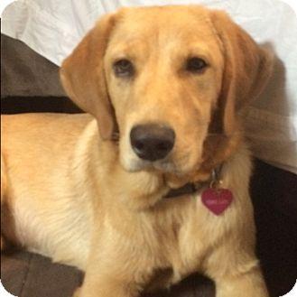 Golden Retriever/Labrador Retriever Mix Puppy for adoption in Miami, Florida - Penny Lane