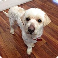 Poodle (Miniature) Mix Dog for adoption in San Pedro, California - Hugo