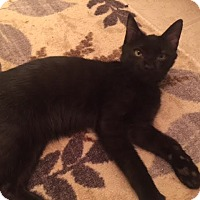 Domestic Shorthair Kitten for adoption in Burlington, North Carolina - PARKER