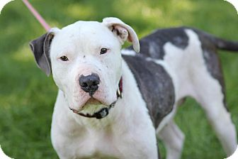 American Pit Bull Terrier Mix Dog for adoption in Midland, Michigan - Cortez - STRAY