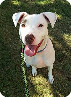 Pointer Mix Dog for adoption in Wichita Falls, Texas - Josie