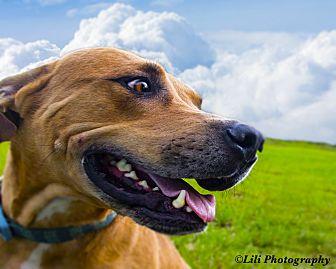 Catahoula Leopard Dog Mix Dog for adoption in Warner Robins, Georgia - Rocky