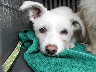 Terrier (Unknown Type, Small) Dog for adoption in Lucknow, Ontario - SWEETIE- KOREAN