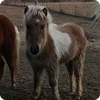 Pony - Other/Miniature Mix for adoption in Loudon, Tennessee - Tinklerbell