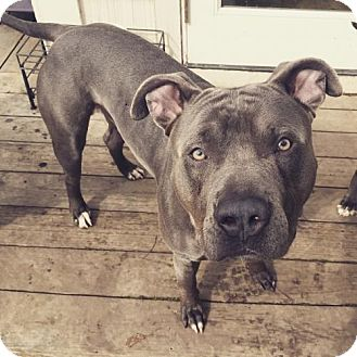 American Pit Bull Terrier Dog for adoption in Richmond, California - Moose