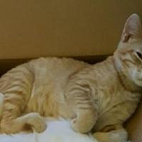 Domestic Shorthair Cat for adoption in Morgan Hill, California - Kaligos