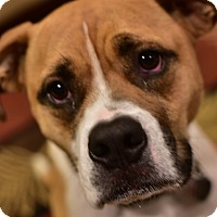 Adopt A Pet :: Whiskey - Manassas, VA