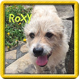 Wheaten Terrier/Schnauzer (Standard) Mix Dog for adoption in PARSIPPANY, New Jersey - ROXY