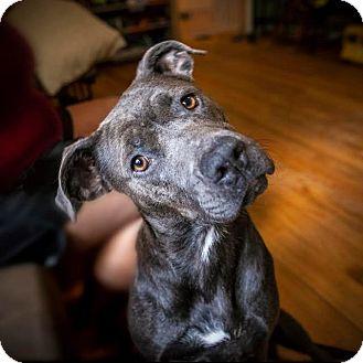 "Pit Bull Terrier Dog for adoption in Raleigh, North Carolina - Aretha ""Aretha Franklin"""