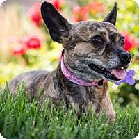 Adopt A Pet :: Cheyenne - St Louis, MO