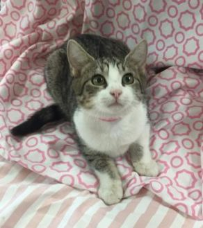 Domestic Shorthair/Domestic Shorthair Mix Cat for adoption in Waldorf, Maryland - June