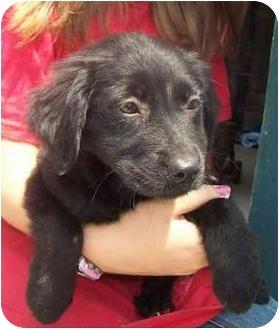 Labrador Retriever/Golden Retriever Mix Puppy for adoption in Chapel Hill, North Carolina - Mimi