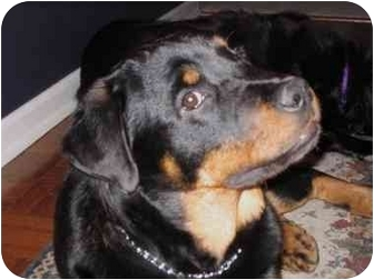 Rottweiler/Rottweiler Mix Dog for adoption in McDonough, Georgia - Moose