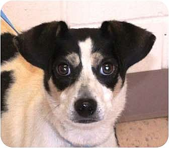 Feist/Jack Russell Terrier Mix Dog for adoption in Snellville, Georgia - Flash