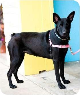 Australian Cattle Dog Dog for adoption in Houston, Texas - Lulu