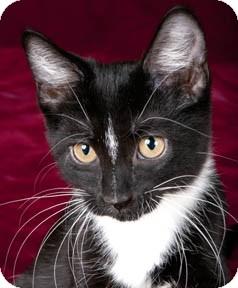 Domestic Shorthair Kitten for adoption in Chicago, Illinois - Edgar